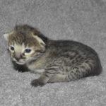 f2 savannah kittens nadig1h