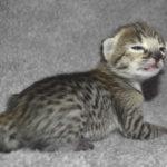 f2 savannah kittens nadig1g