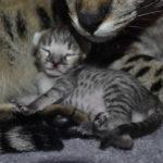 f2 savannah kittens nadig1f