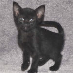Mara Savannah Kittens melb