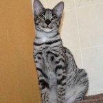 F2 Savannah Kittens