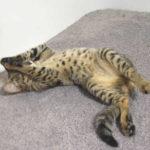 F2 Savannah Kitten leg010617m