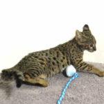 F2 Savannah Kitten leg010617n