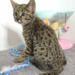 F2 Savannah Kitten leg010617p