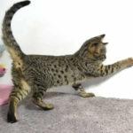 F2 Savannah Kitten leg010617q