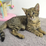F2 Savannah Kitten leg010617s