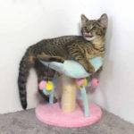 F2 Savannah Kitten leg010617v