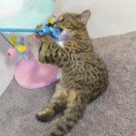 F2 Savannah Kitten leg010617w