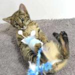 F2 Savannah Kitten leg010617x