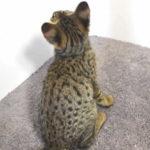 F2 Savannah Kitten leg010617y