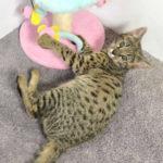 F2 Savannah Kitten leg010617z