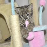 F2-savannah-kittens-leg0106g1y