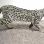 F2 savannah kittens legm316p