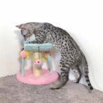 F2 savannah kittens legm316s