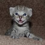 Savannah Kitten Videos