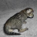 f2 savannah kittens nadig1a