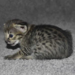 f2 savannah kittens nadig1b