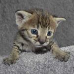 f2-savannah-kittens-nadig1e