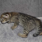f2-savannah-kittens-nadig1f
