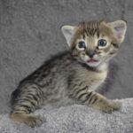 f2-savannah-kittens-nadig1g