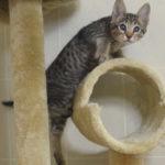 f6 savannah kittens vbf