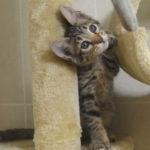 f6 savannah kittens vbh