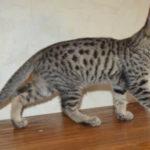 f6 savannah kittens vbo