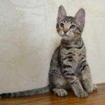 f6 savannah kittens vbv