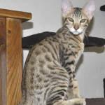 f6-savannah-kittens-vm0718a