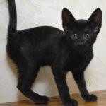 f6 savannah kittens vmk
