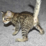f7-savannah-kittens-mara02062017b3e