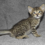 f7 savannah kittens mara02062017b3i