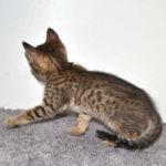 f7-savannah-kittens-mara02062017b3v