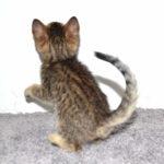 f7-savannah-kittens-mara02062017b3w