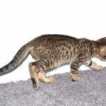 f7-savannah-kittens-mara02062017b3y
