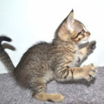f7-savannah-kittens-mara02062017b3z