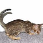 f7-savannah-kittens-mara02062017b3za