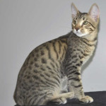 Stud Cats for Sale Kitten
