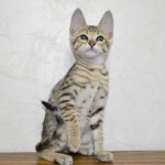 Why we can no longer accept payments for Savannah Kittens