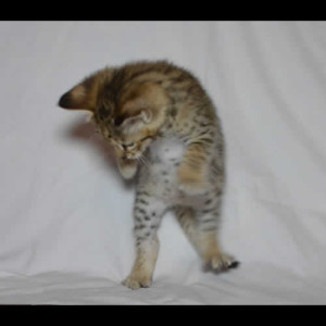 savannah kittens teddy1c
