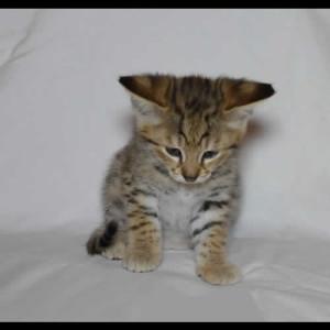 savannah kittens teddy1d