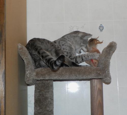 Kosmo the Savannah Cat