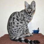 F1 Savannah Cat Twister