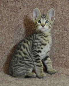 F6 Savannah Kittens for Sale