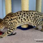 F1 Savannah Cat Queen BGc