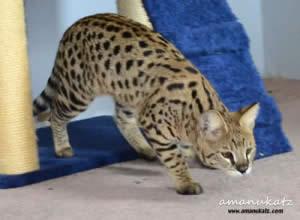 BG 1g Savannah cat queen