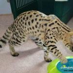 F1 Savannah Cat Queen BGd