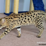 F1 Savannah Cat Queen BGe