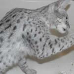 F1 savannah cat queens oc