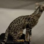 F1 savannah cats lb